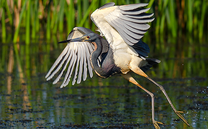 Photo of Tri-Colored Heron taken by BW English professor Terry Martin