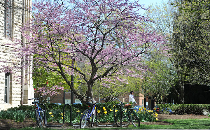 A flowering tree, tuilps and bikes signal the arrival of spring at Baldwin Wallace University